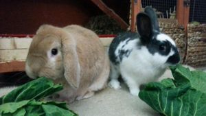 What Type of Rabbits Make the Best Pets?