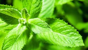 What Are Some Uses of Peppermint Extract?
