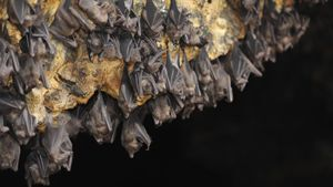 What is the natural habitat of vampire bats?
