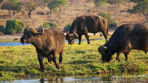 What Do Water Buffalo Eat?