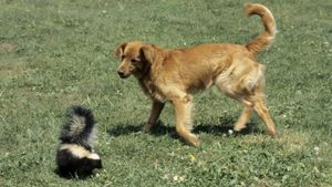 What Is the Best Way to Remove Skunk Smell From a Dog?