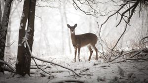 What are some predators of deer?