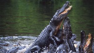 Who Are the Enemies of Alligators?