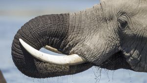 What are elephant tusks used for?