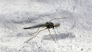 What causes gnats?