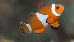 What do clownfish eat?