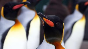 What Do King Penguins Eat?