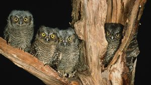 What do you call a flock of owls?