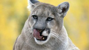 What Does a Cougar Eat?