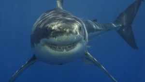 What Eats a Great White Shark?