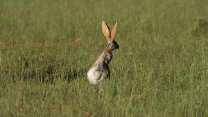 What Eats a Jackrabbit?