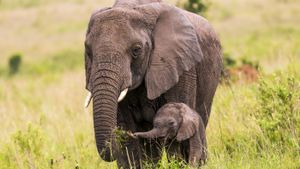 What is a baby elephant called?