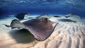 What Is a Group of Stingrays Called?