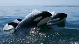 What Is a Killer Whale's Niche?