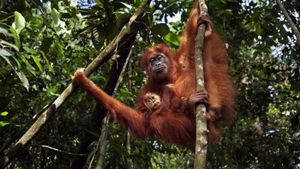 What Is Being Done to Save the Orangutan?