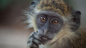 What Is the Lifespan of a Monkey?