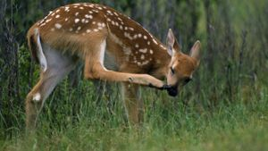 What Is the Name of a Young Deer?