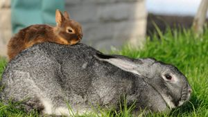 What Is the Smallest Rabbit Breed?