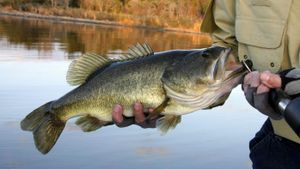 What Was the Largest Largemouth Bass Ever Caught?