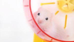 Where Can I Buy Hamsters Online?