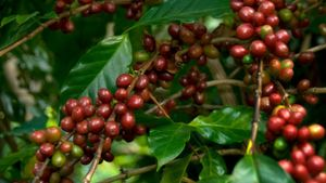 Where Do Coffee Beans Grow?