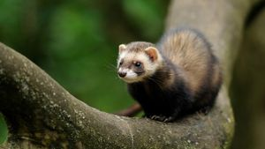 Where do ferrets live in the wild?