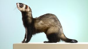 Where Did Ferrets Originally Come From?