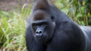 Where Do Gorillas Live?