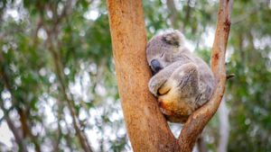 Where Do Koalas Sleep?