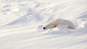 Where Do Polar Bears Sleep?