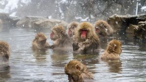 Where do snow monkeys live?