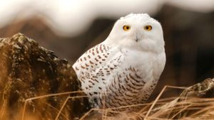 Where Do Snowy Owls Live?