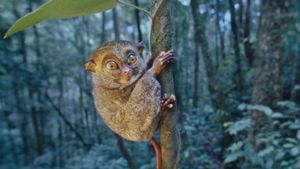 Where Do Tarsiers Live?
