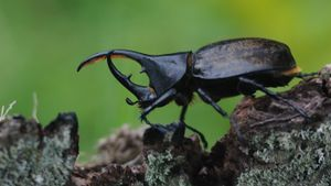 Where Do Rhinoceros Beetles Live?