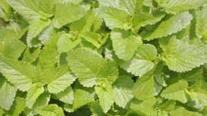 Where Does Mint Come From?