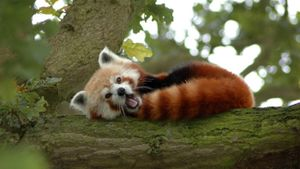 Where does the red panda live?
