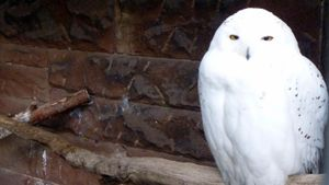 What Is the White Snow Owl?
