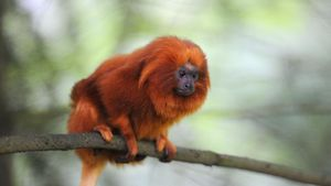 Why Are Golden Lion Tamarins Endangered?