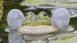 Why Do Frogs Croak?