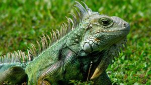 Why Do Iguanas Bob Their Heads?