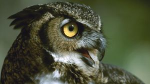 Why do owls hoot?