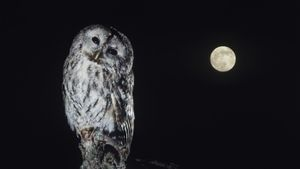 Why Do Owls Only Come Out at Night?