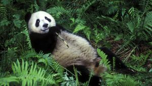 Why Do Pandas Eat Bamboo?
