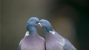 Why Do Pigeons Coo?