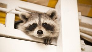 Why do raccoons have masks around their eyes?