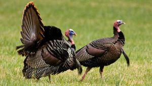 What Is a Female Turkey Called?