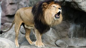Who Will Win in a Liger Versus a Lion Fight?