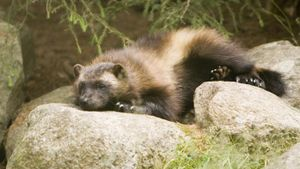 What Do Wolverines Eat?