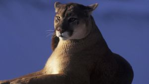 What Is the World Record for the Heaviest Cougar?
