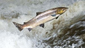 What Is the World Record for Steelhead and for Salmon?